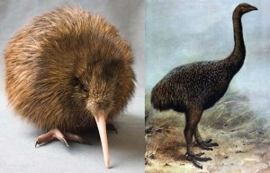 "Dr. Anthony Poole doesn't see why this kiwi (left) isn't just ""a tiny, baby version"" of this moa (right)"