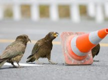 Fairfax will not comment on all the methods used to train the kea, in the event other news organisations co-opt them for use on different animals.